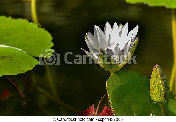 water lily - csp44437886