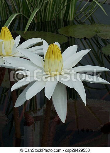 Water Lily - csp29429550