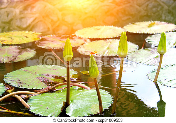 water lily - csp31869553