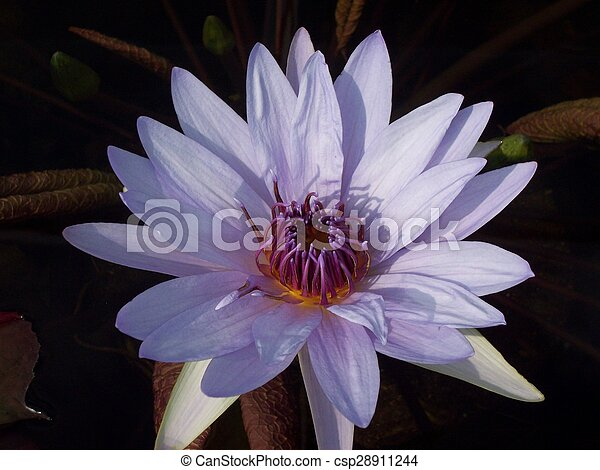 Water Lily - csp28911244