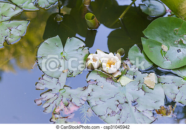 Water lily - csp31045942
