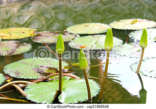 water lily - csp31869548