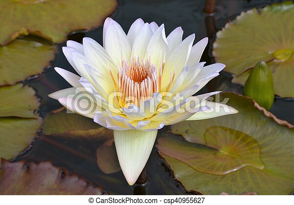 Water Lily - csp40955627