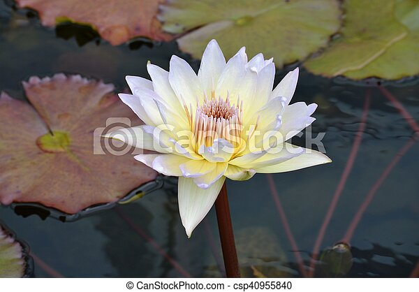 Water Lily - csp40955840