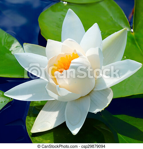 Water lily - csp29879094