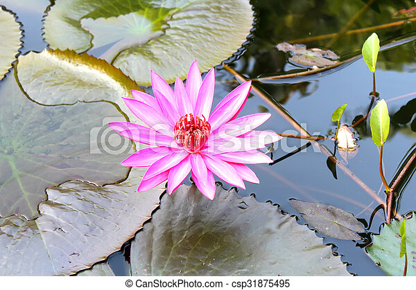 water lily - csp31875495