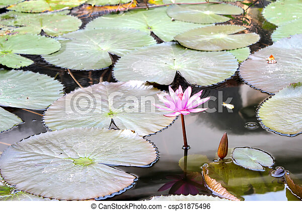 water lily - csp31875496