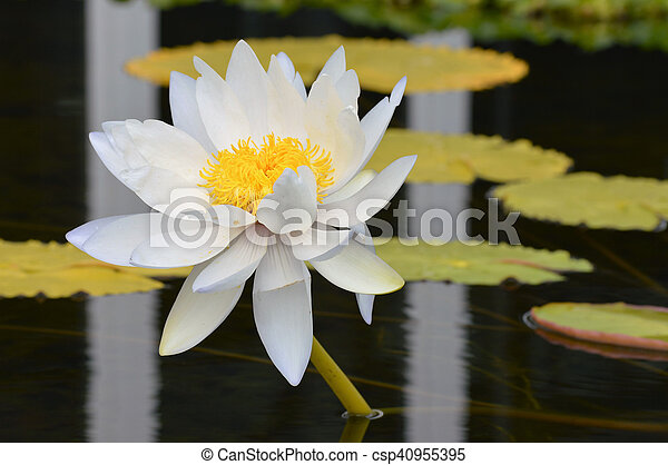 Water Lily - csp40955395