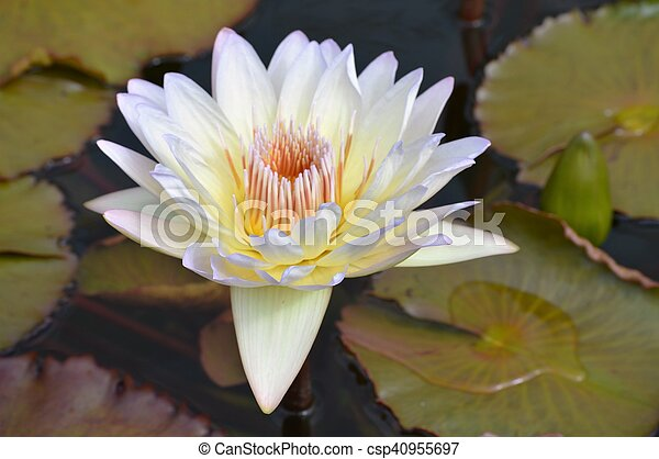 Water Lily - csp40955697