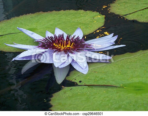 Water Lily - csp29646501