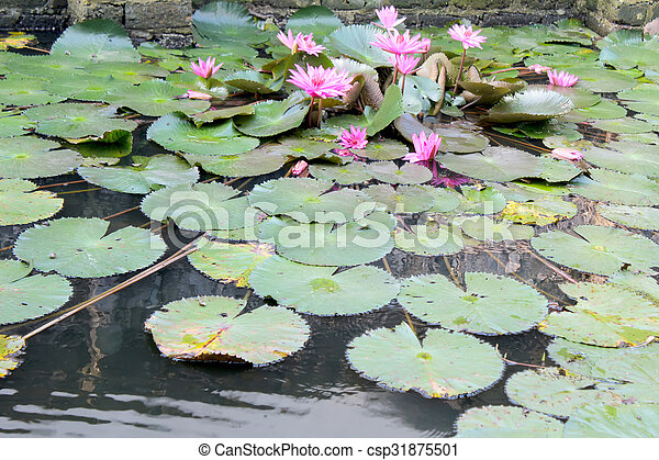 water lily - csp31875501