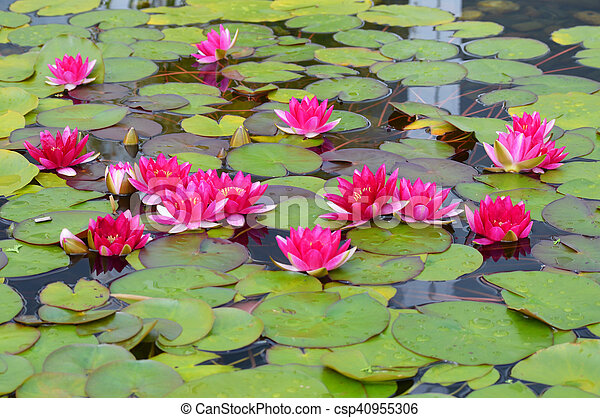Water Lily - csp40955306