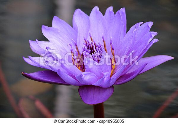 Water Lily - csp40955805