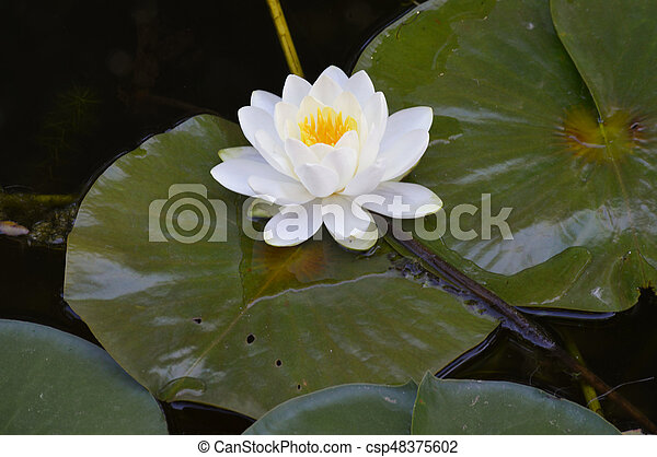 Water Lily - csp48375602