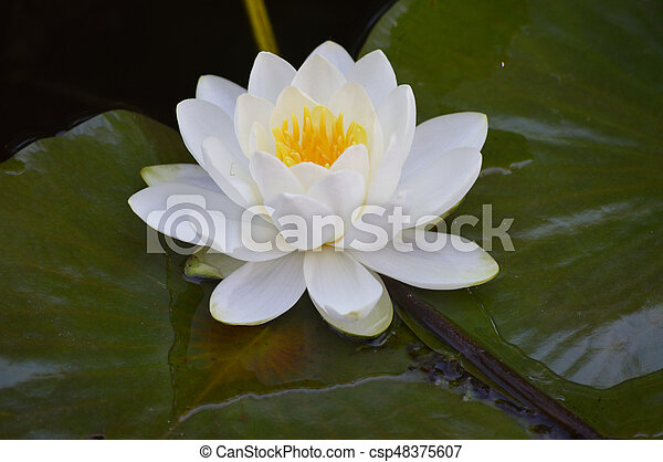 Water Lily - csp48375607