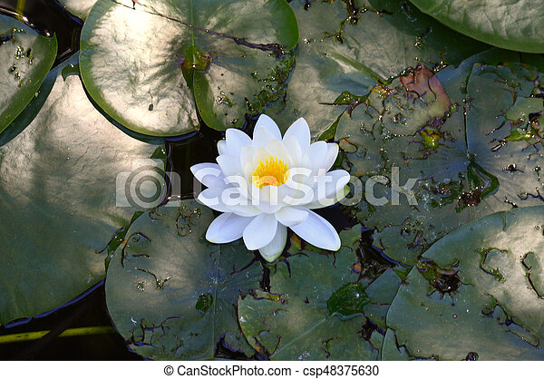 Water Lily - csp48375630