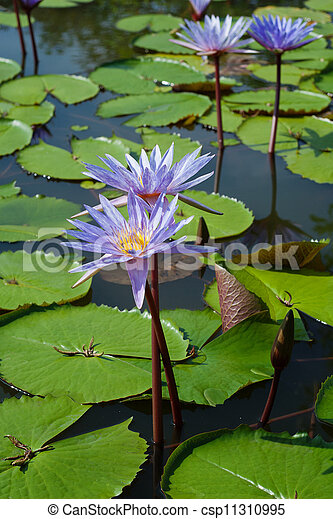water Lily with flower - csp11310995
