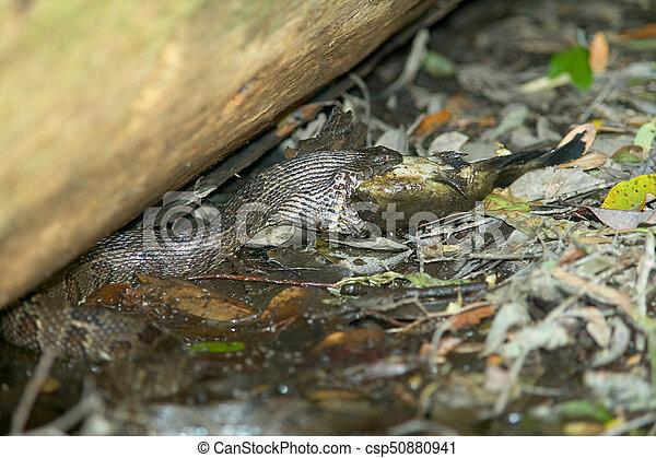 Water Snake Eating Catfish At Swamp Water Moccasin Swallowing Fish