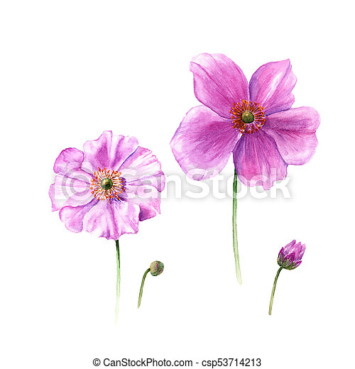 Watercolor Anemone Flowers And Buds Hand Drawn Single Flower Isolated On White Background Botany