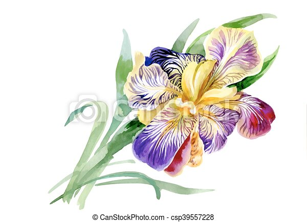 Line Drawing Of Flowers Clipart : Watercolor garden iris flowers isolated on white background
