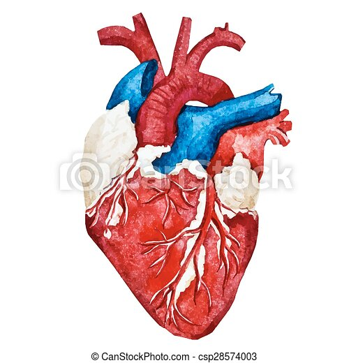 beautiful vector image with nice watercolor human heart vector rh canstockphoto com human heart vector image human heart vector image