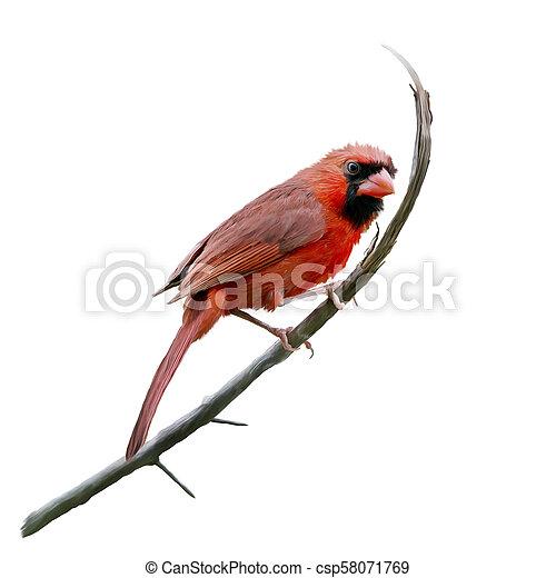 watercolor, mannelijke , kardinaal, noordelijk - csp58071769