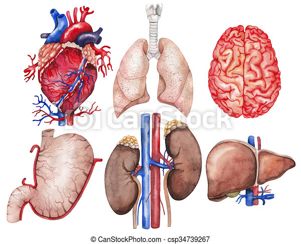 Watercolor Organs Collection Watercolor Anatomy Collection Heart