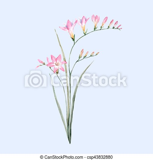 Beautiful vector illustration of hand drawn watercolor pink watercolor pink freesia flower csp43832880 mightylinksfo