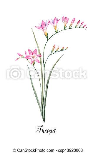 Beautiful illustration of hand drawn watercolor pink freesia watercolor pink freesia flower csp43928063 mightylinksfo