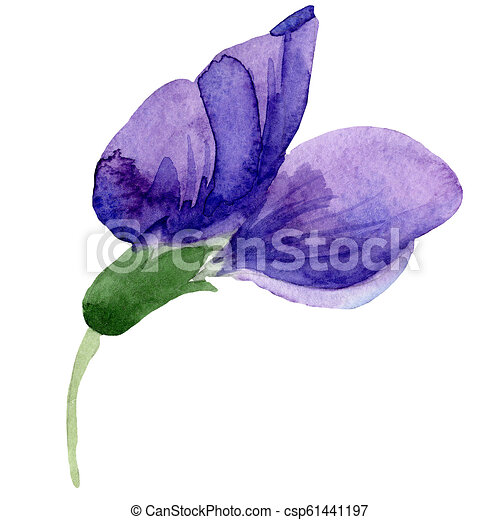 65ec7f491 Watercolor purple sweet pea flower. floral botanical flower. isolated  illustration element. aquarelle wildflower for background, texture, wrapper  pattern, ...