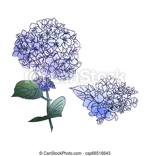 Watercolor style branch of hydrangea flowers. Set of Isolated florals object on white background. - csp66516643