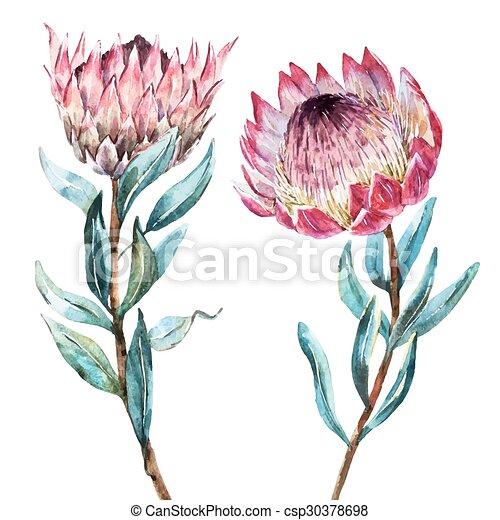 Watercolor tropical flower protea - csp30378698