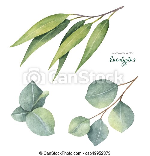 Watercolor vector hand painted set with eucalyptus leaves and branches. - csp49952373