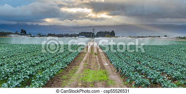 Watering Broccoli Crop - csp55526531