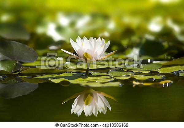 waterlily, 白, pond., 自然 - csp10306162