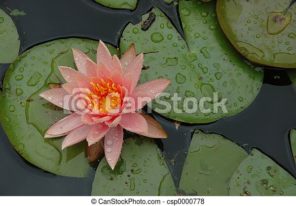 waterlily & droplets - csp0000778