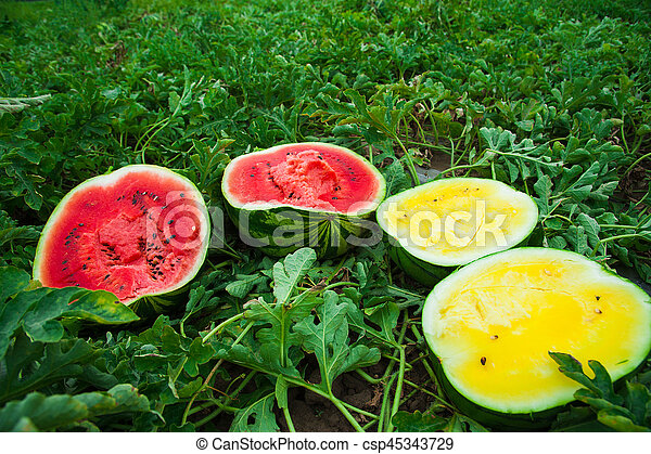 Watermelon Field Images