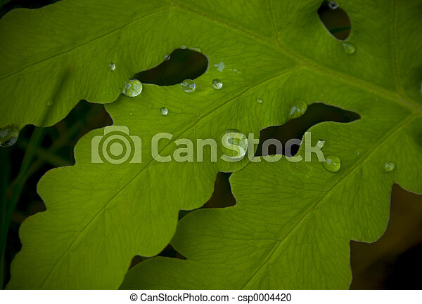 Watery Leaf - csp0004420