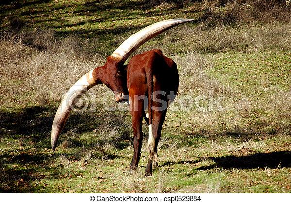 watusi, vaca - csp0529884