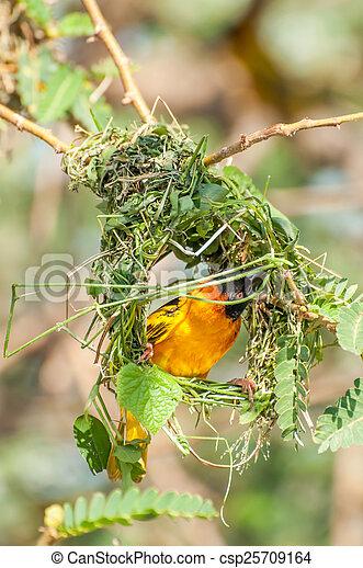 Weaver Bird Building Nest A Male Weaver Bird Bussy Building A