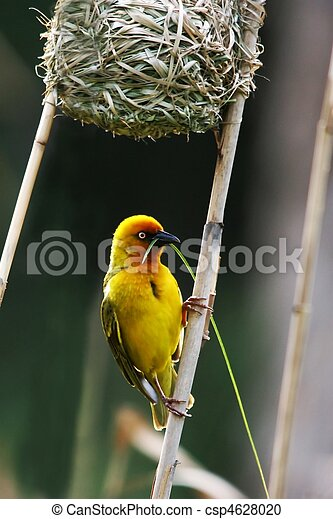 of Beautiful yellow birds nests pictures