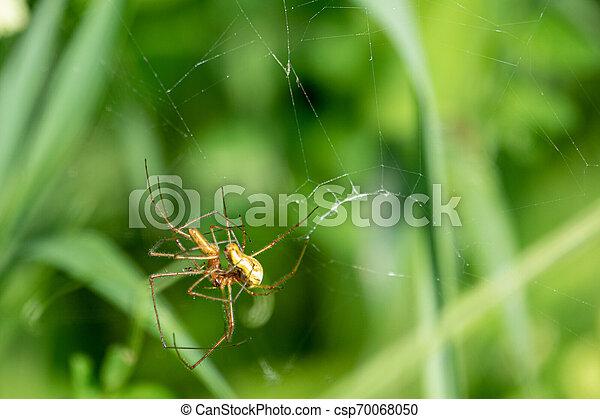web, copulate, spinne, zwei, ihr, grüne spinnen, heraus - csp70068050