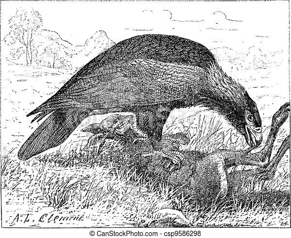 Wedge-tailed Eagle or Aquila audax, vintage engraving - csp9586298