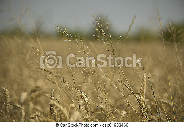 Weed grass in a barley cultivation - csp61903466