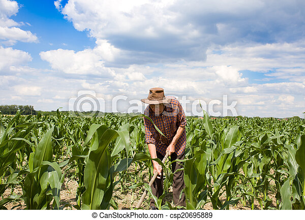 Weeding corn field with hoe - csp20695889