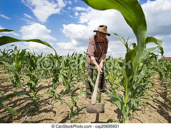 Weeding corn field with hoe - csp20695931