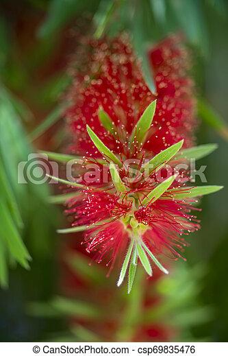 Weeping Bottle Brush flower. - csp69835476