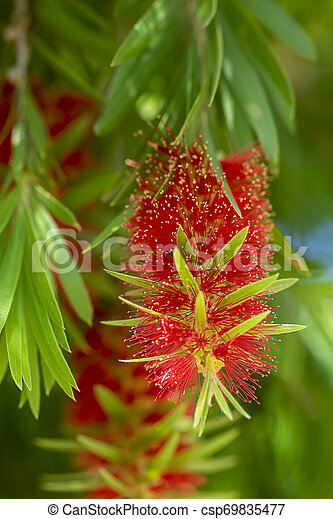 Weeping Bottle Brush flower. - csp69835477