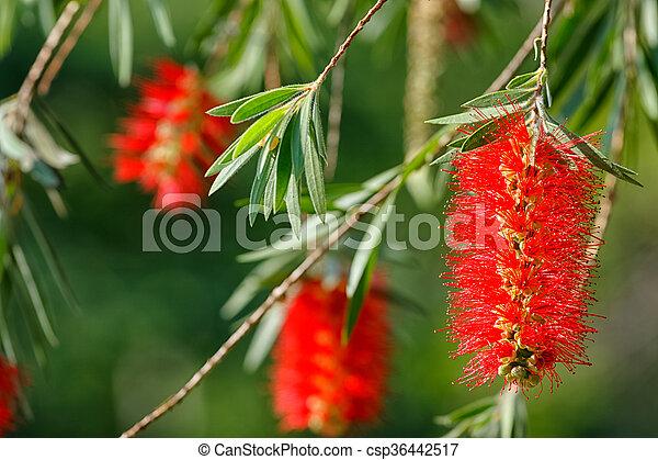 Weeping bottle brush red flower. Myrtaceae family - csp36442517