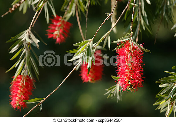 Weeping bottle brush red flower. Myrtaceae family - csp36442504